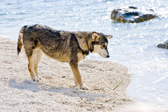 Croatia dog at the sea Stock Photography