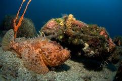croatia scorpionfish Arkivfoton