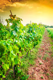 Croatia - vineyard on Istrian peninsula. Croatia - vineyard on Istria peninsula. Agriculture on red soil Royalty Free Stock Photography