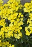 Croatian endemic plant. Latin name - Fibigia triquetra royalty free stock photos