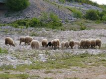 A Croatian flock of sheep at the countryside Stock Image