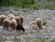 A Croatian flock of sheep at the countryside Royalty Free Stock Image