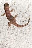 Croatian gecko (macaklin) Royalty Free Stock Photography