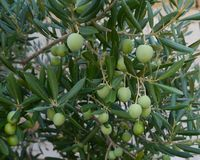 Croatian green olives in a tree Royalty Free Stock Photo