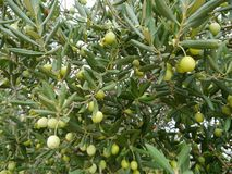 Croatian green olives in a tree Royalty Free Stock Image