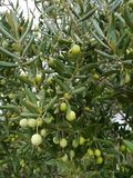 Croatian green olives in a tree Stock Images