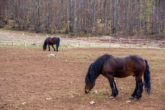Croatian horse breed, Cold-Blooded Royalty Free Stock Photo