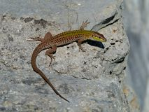 A Croatian lizard on a rock Royalty Free Stock Photo