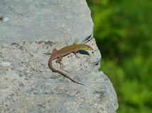 A Croatian lizard on a rock Royalty Free Stock Photos