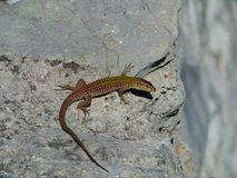 A Croatian lizard on a stone Royalty Free Stock Photography