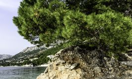 Croatian pine tree with Adriatic Sea in background - Brela, Makarska Riviera, Dalmatia, Croatia Royalty Free Stock Image