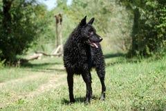 Croatian sheepdog. Croatian Shepherd of Wet Hair stock images
