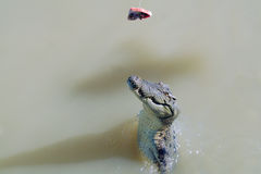 croc πηδώντας Στοκ εικόνες με δικαίωμα ελεύθερης χρήσης
