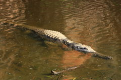 Croc на ущелье windjana, Кимберли, западной Австралии Стоковые Фото