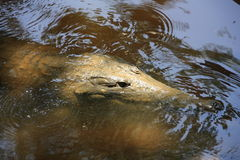 Croc на ущелье windjana, Кимберли, западной Австралии Стоковые Фотографии RF
