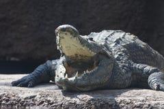 Croc. Yawning crocodile soaking up the sunshine Stock Image