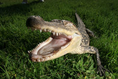 Croc Royalty Free Stock Images