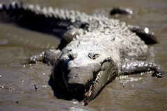 Croc 2 Stock Photography