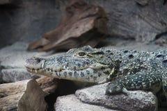 Croc royalty-vrije stock afbeeldingen