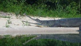 Croc麻烦 免版税库存图片