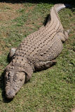 Croc. A crocodile lying on the grass Stock Photos