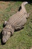 Croc Stock Photos