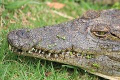 Croc africano Fotografia Stock Libera da Diritti