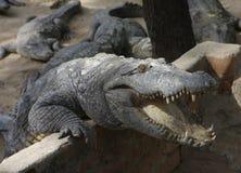 Croc attack! Stock Image