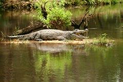 Croc che prende il sole Immagine Stock