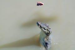 Croc di salto Immagini Stock Libere da Diritti