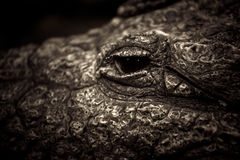 Croc Eye. A close up of the eye of a crocodile Stock Images