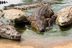 Croc familjfoto Fotografering för Bildbyråer
