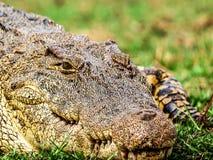 Croc head Stock Photography
