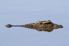 Croc head Stock Photography