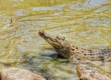 Croc het sluimeren Royalty-vrije Stock Foto
