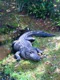 Croc irritable imagen de archivo