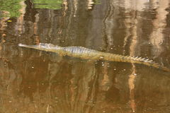 Croc à la gorge de windjana, Kimberley, Australie occidentale Image libre de droits
