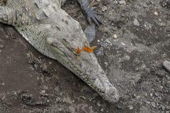 Croc och fjärilar, Rio Tarcoles, Costa Rica royaltyfri bild