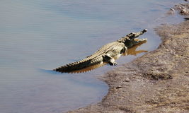 Croc at rest Stock Photography