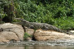 Croc on Rock in River. A crocodile suns itself on a rock in the nile river in Uganda royalty free stock image