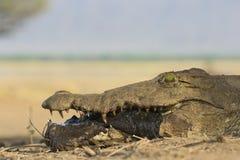 Croc's Delight Stock Photo