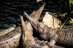 Croc's enjoying the sun Royalty Free Stock Photo
