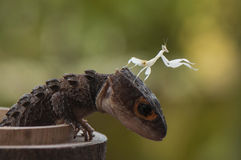Croc Skink和螳螂 免版税图库摄影