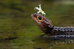 Croc Skink和螳螂 免版税库存照片