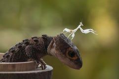 Croc Skink και mantis Στοκ φωτογραφία με δικαίωμα ελεύθερης χρήσης