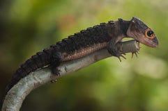 Croc Skink Stock Afbeelding