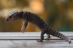 Croc Skink Стоковое фото RF