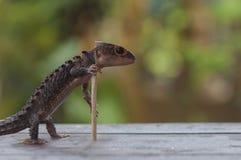 Croc Skink Photo libre de droits
