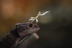 Croc Skink и mantis Стоковые Изображения RF