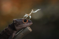 Croc Skink and mantis. Hand up Royalty Free Stock Images